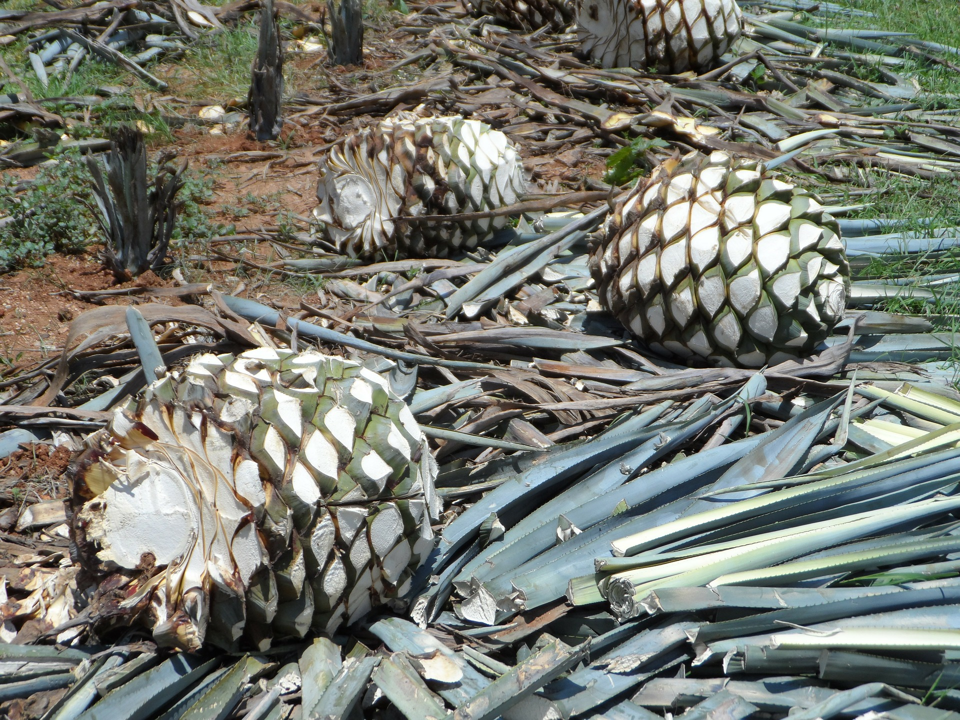 Additives in Many Tequilas Negate Natural Agave Flavor